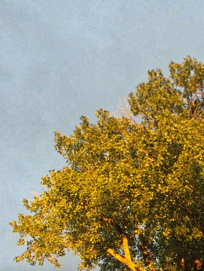 tree in evening light