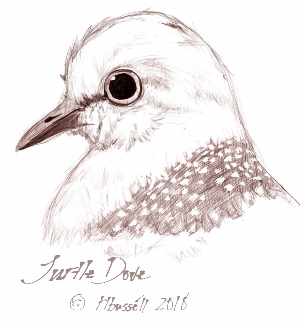 Turtle Dove Sketch © rl busséll 2018