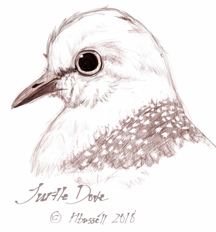 Turtle Dove Sketch © rl busséll 2018